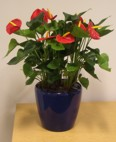blue lechuza table display with anthurium